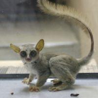 密輸サルは新種か生態を探る!販売の値段に驚愕!?ショウガラゴはペットショップで売っている!!